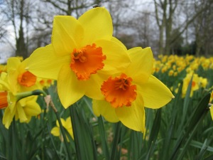 Daffodil-Flower-Picture-5