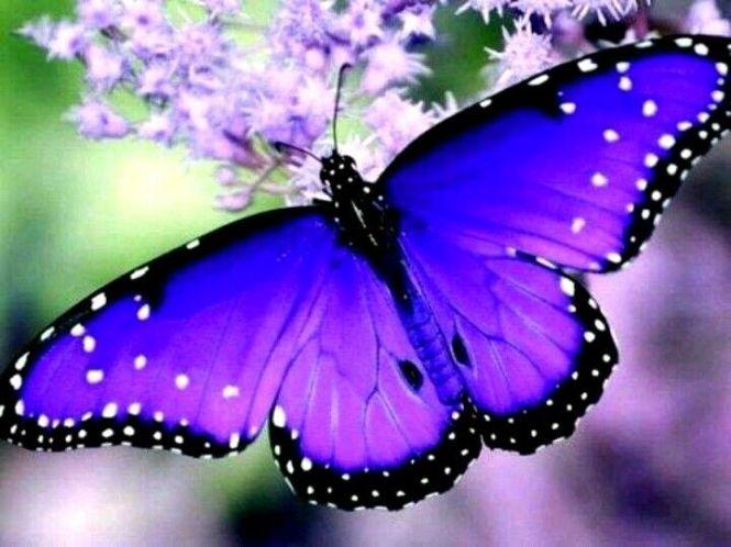 3e442dea084db02ce4ef9b7f6d7ba4cf--blue-butterfly-butterfly-wings[1]